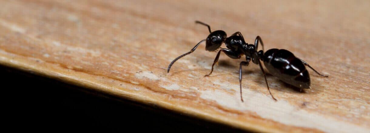 Ant control -Ant exterminator